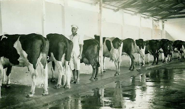 Image result for dairy farming south africa 1930